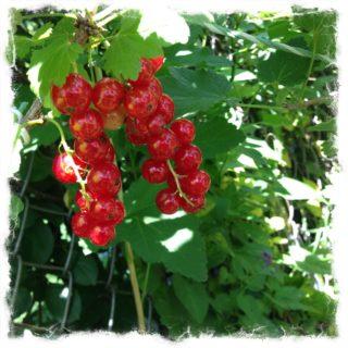 summer currant