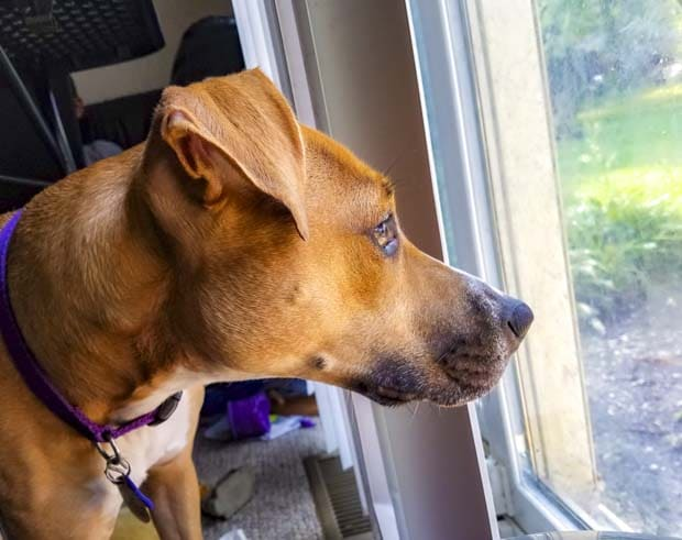 Dog looks outside window