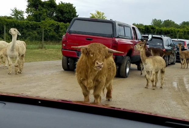 Port Clinton safari feeding animals Sctoish Highlander