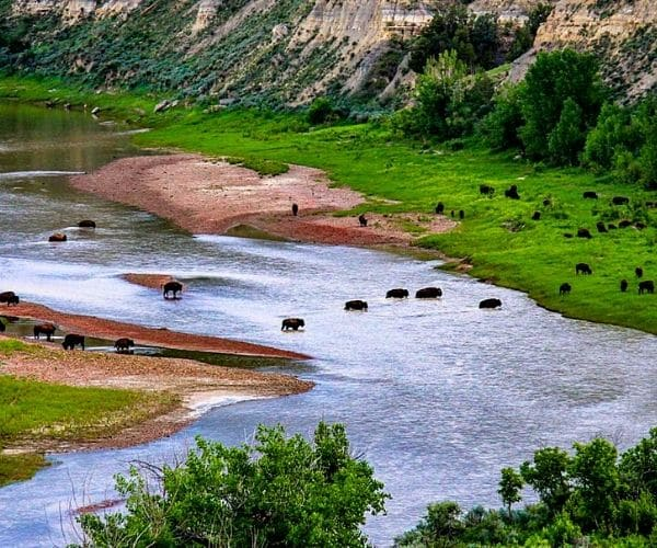Bison crossing in in Theodore Roosevelt's National Park