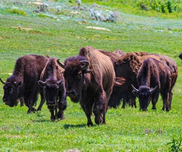 Bisons of in Theodore Roosevelt's National Park