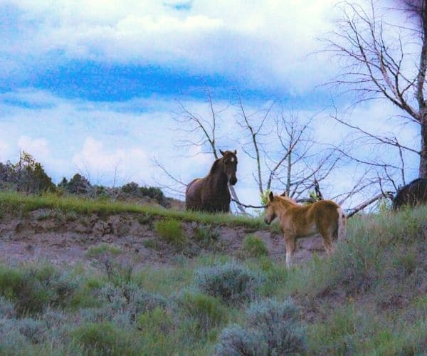 A horse and a foal at in Theodore Roosevelt's National Park