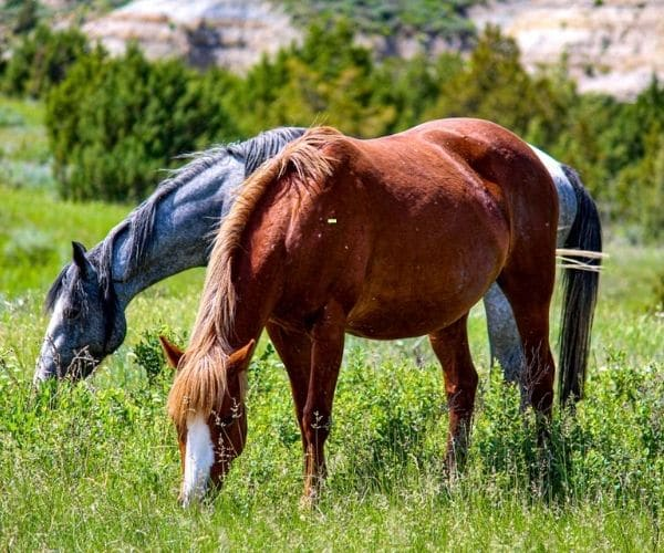 Ferral horses in in Theodore Roosevelt's National Park