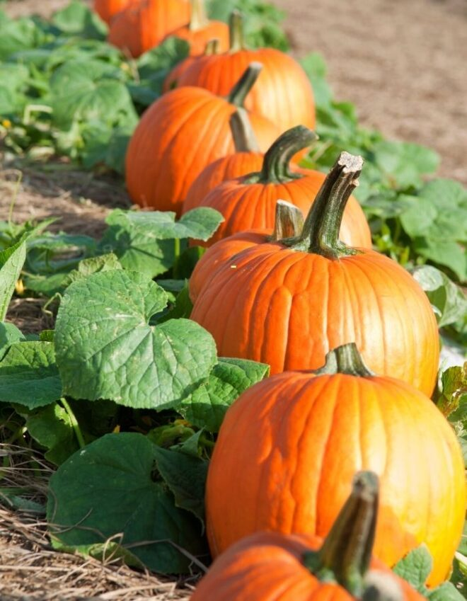A row of pumpkins