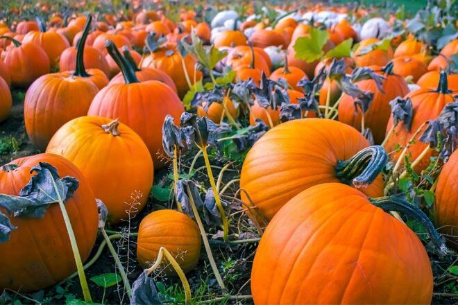 Field full of pumpkin closeup