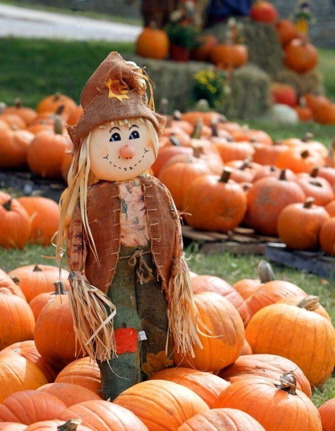 Scarecrow in field of pumpkins
